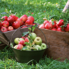 9 λόγοι για να τρώμε μήλα, αυτά τα υπέροχα φρούτα εποχής