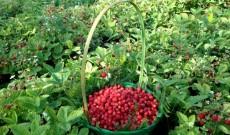 Κερκυραϊκή φράουλα