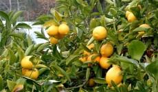 Λεμόνι, το θεϊκό φρούτο